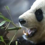 panda-teacher